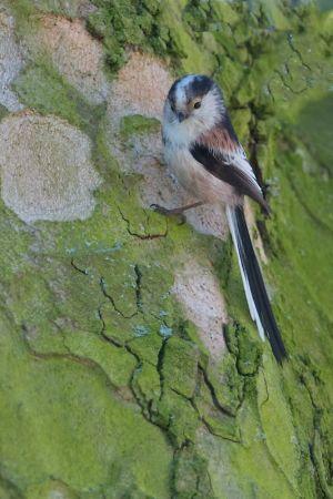 Long-tailed Tit | Staartmees (Zwammerdam)