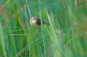 Aquatic Warbler | Waterrietzanger (Wassenaar)