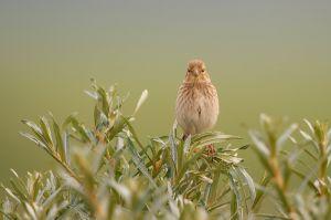 Common Linnet juv. | Kneu (Wassenaar)
