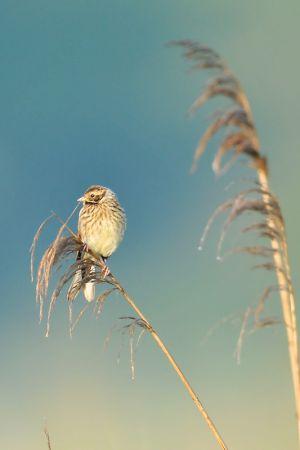 Common Reed Bunting | Rietgors (Wassenaar)
