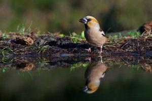 Hawfinch | Appelvink (Lemelerberg)