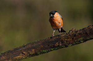 Eurasian Bullfinch | Goudvink (Lemelerberg)