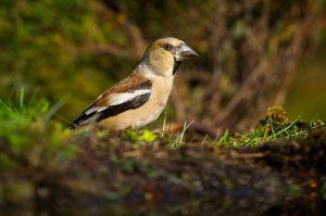 Hawfinch fem.| Appelvink (Lemelerberg)