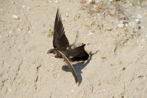 Sand Martin | Oeverzwaluw