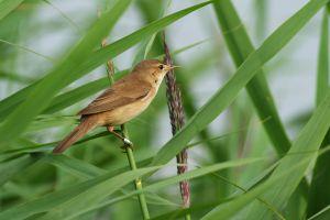 Reed Warbler | Kleine Karekiet (Zevenhoven)