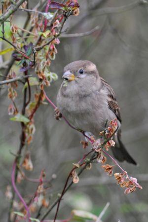 House Sparrow | Huismus (Wassenaar)
