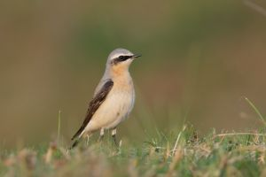 Northern Wheatear, male | Tapuit (Katwijk)