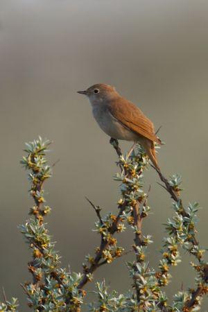 Common Nightingale | Nachtegaal (Katwijk)