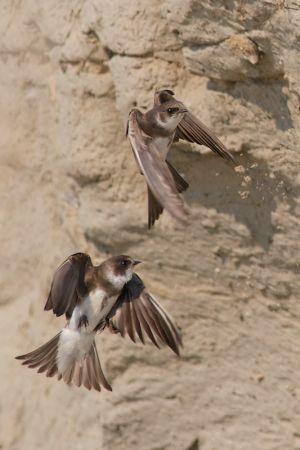 Sand Martin | Oeverzwaluw (Delfgauw)