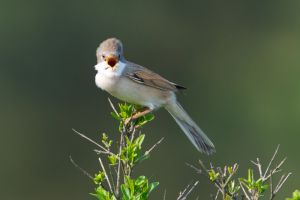 Common Whitethroat | Grasmus (Katwijk)