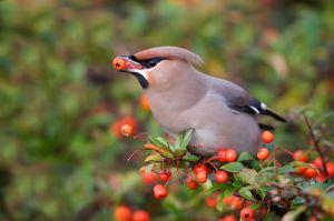 Bohemian Waxwing | Pestvogel (Barendrecht)