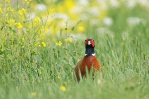 Common Pheasant | Fazant (Leidschendam)