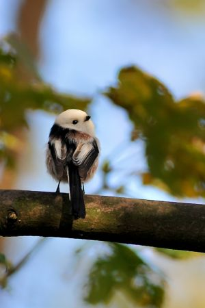 White-headed Long-tailed Tit | Witkopstaartmees (Katwijk)