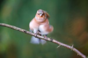 Common Chaffinch | Vink (Beekbergen)