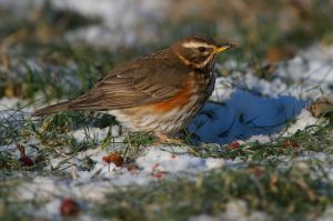 Redwing | Koperwiek (Leiden)