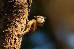 European Crested Tit | Kuifmees (Wassenaar)