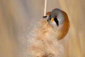 Bearded Reedling male | Baardman (Vlaardingen)