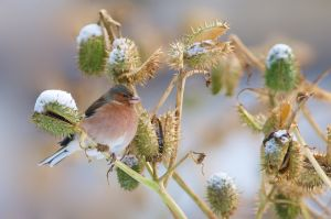 Common Chaffinch | Vink (Wassenaar)