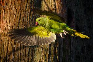 Rose-ringed Parakeet | Halsbandparkiet (Den Haag)