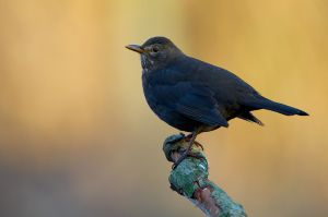 Common Blackbird | Merel (Den Haag)