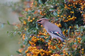 Common Waxbill | Pestvogel (Pijnacker)