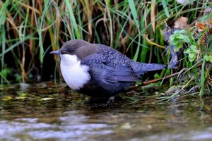 Black-bellied Dipper | Waterspreeuw (AWD)