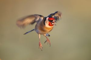 European Goldfinch | Putter ('s-Gravenzande)