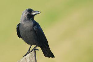 House Crow | Huiskraai (Hoek van Holland)