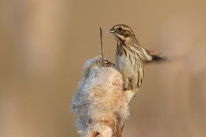 Reed Bunting fem. | Rietgors (Delft)