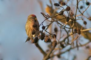 Mealy Redpoll | Grote Barmsijs (Texel)