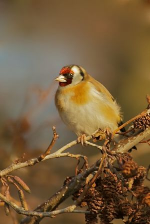 European Goldfinch | Putter (Texel)