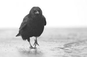 Carrion Crow | Zwarte Kraai (Wassenaar)