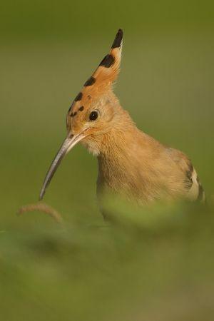 Eurasian Hoopoe | Hop (Katwijk)