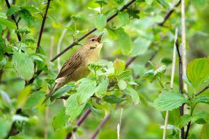 Common Grashopper Warbler | Sprinkhaan(riet)zanger (Delft)