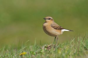 Northern Wheatear, female | Tapuit (Wassenaar)