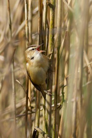 Sedge Warbler | Rietzanger (Leidschendam)