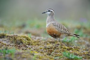 Eurasian Dotterel | Morinelplevier (Katwijk)