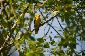 Eurasian Golden Oriole | Wielewaal (Vlaardingen)