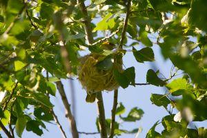 Eurasian Golden Oriole fem. | Wielewaal (Vlaardingen)