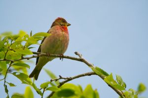 Common Rosefinch | Roodmus (Den Haag)