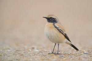 Desert Wheatear | Woestijntapuit (Westkapelle)