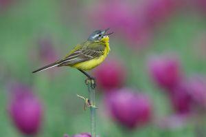 Yellow Wagtail | Gele Kwikstaart (Rijnsburg)