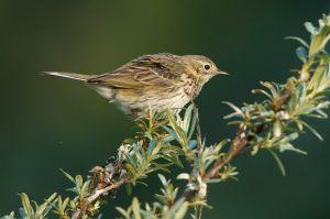 Meadow Pipit | Graspieper (Wassenaar)