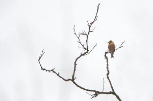 Hawfinch | Appelvink (Voorschoten)