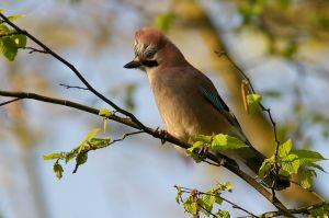 Eurasian Jay | Gaai (Den Haag)