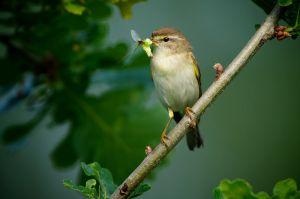 Willow Warbler | Fitis (Maassluis)
