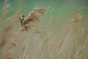 Bearded Reedling juv. | Baarman (Maassluis)