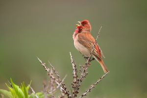 Common Rosefinch | Roodmus (IJmuiden)
