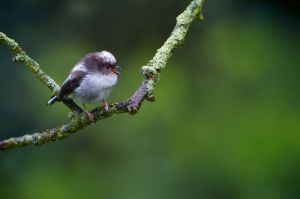Long-tailed Tit juv. | Staartmees (Den Haag)
