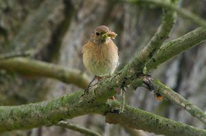 Common Redstart fem. | Gekraagde Roodstaart (Scheveningen))